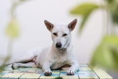 тайская собака Стоковые Фотографии RF