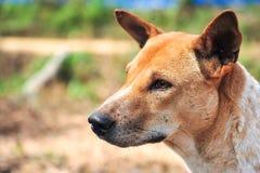 Тайская собака стоковая фотография rf
