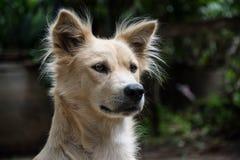 Тайская собака bangkaew Стоковые Фотографии RF