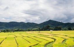 Тайская ферма риса Стоковые Изображения RF