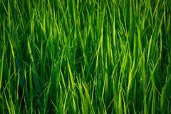 Тайская ферма Стоковые Изображения RF