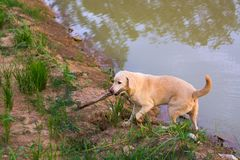 Тайская фольклорная собака Стоковое Фото