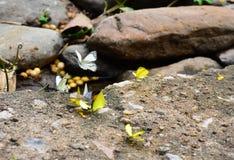 Тайские бабочки Стоковое Изображение RF