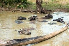 Тайские буйволы Стоковые Фотографии RF
