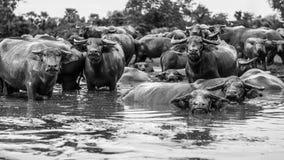 Тайские буйволы стоковое изображение rf