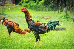 Тайские животные gamecocks Стоковые Изображения