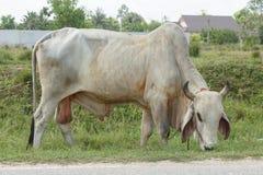 Тайские коровы в поле на Таиланде Стоковая Фотография