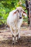 Тайские коровы в ферме Стоковые Изображения RF