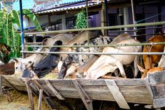 Тайские коровы есть Люцерн hay от кормушки в тайском мини фермы местное Стоковые Изображения