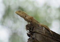 Тайские родные ящерица или хамелеон Стоковое Изображение