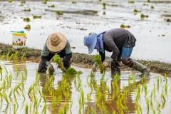 Тайские фермеры трансплантируют саженцы риса в рисовых полях стоковая фотография