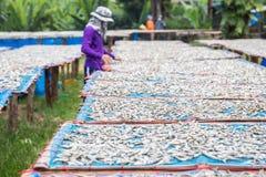 Тайские люди поворачивают к рыбам которые сушат в солнце стоковые изображения rf