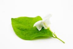 Тайский белый жасмин Стоковое Изображение