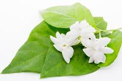 Тайский белый жасмин Стоковые Изображения