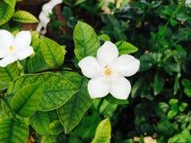 Тайский белый цветок стоковые изображения