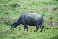 Тайский буйвол в природе Стоковые Изображения RF