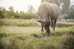 Тайский буйвол есть траву на поле риса Стоковые Изображения