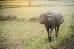 Тайский буйвол идя на поле риса Стоковые Фотографии RF