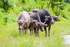 Тайский буйвол в поле травы Стоковые Фотографии RF