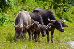 Тайский буйвол в поле травы Стоковое Фото