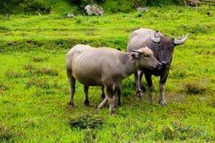 Тайский буйвол на поле стоковые изображения