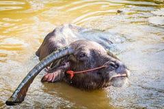 Тайский буйвол принимает ванну Стоковое Изображение