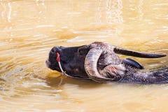 Тайский буйвол принимает ванну Стоковые Фото