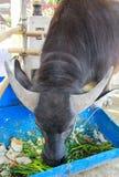 Тайский буйвол Стоковые Фотографии RF