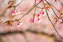 Тайский вишневый цвет на Doi Inthanon, Chiangmai, вишневом цвете o Стоковое фото RF