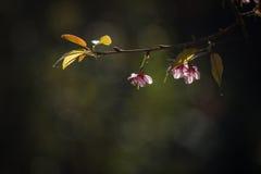Тайский вишневый цвет на Doi Inthanon, Chiangmai, вишневом цвете o Стоковая Фотография RF