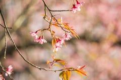 Тайский вишневый цвет на Doi Inthanon, Chiangmai, вишневом цвете o Стоковые Изображения
