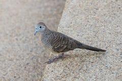 Тайский голубь идя на лестницу Стоковое Изображение