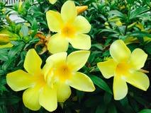 Тайский желтый цветок стоковое изображение rf