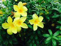 Тайский желтый цветок стоковое фото