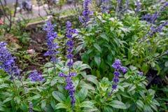 Тайский завод цветка лаванды в поле сада Стоковое фото RF
