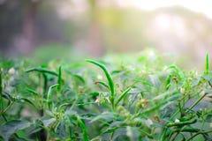 Тайский зеленый перец чилей стоковое изображение rf