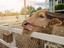 Тайский индийский буйвол альбиноса Стоковые Фотографии RF