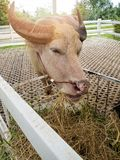 Тайский индийский буйвол альбиноса Стоковые Изображения RF