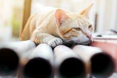 Тайский коричневый кот Стоковые Изображения