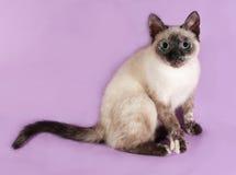 Тайский котенок сидя на пурпуре Стоковая Фотография RF