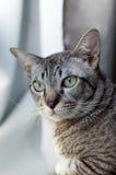 Тайский кот, кот Таиланда смотря вне окно, желтый цвет наблюдает стоковые фотографии rf