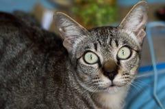 Тайский кот, кот Таиланда смотря камеру, желтый цвет наблюдает стоковое изображение rf