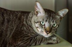Тайский кот, кот Таиланда смотря камеру, желтый цвет наблюдает стоковые изображения rf