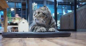 Тайский кот положенный вниз на пол стоковая фотография