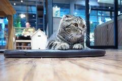 Тайский кот положенный вниз на пол стоковое изображение