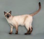 Тайский кот при голубые глазы стоя на сером цвете стоковое изображение