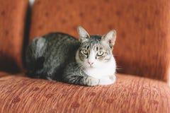 Тайский кот с серым и белым цветом стоковое фото rf