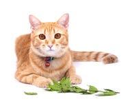 Тайский кот стоковое фото