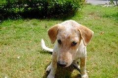 Тайский милый щенок сидя на поле травы со смешной стороной стоковые изображения