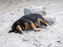 Тайский спать собаки Стоковое Фото